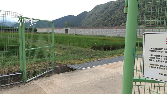 ▲ 경북 군위군에 있는 경북대학교 GMO격리포장. GMO벼 시험재배 장소로 통하는 출입문이 열려 있고, CCTV만 설치되어 있을 뿐, 통제하는 사람도 없다.