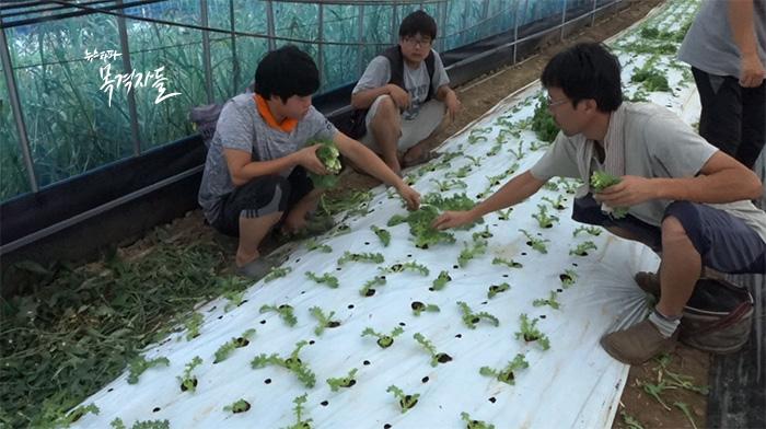 ▲ 쌈 채소를 수확하는 모습