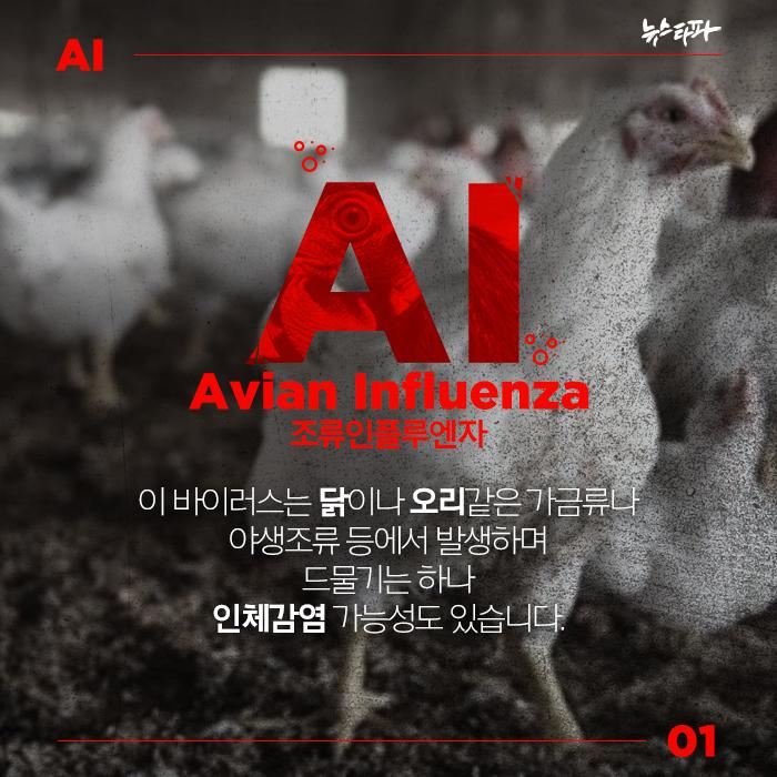 AI, Avian Influenza. 조류인플루엔자. 이 바이러스는 닭이나 오리같은 가금류나 야생조류 등에서 발생하는 전염병으로 드물기는 하나 인체감염 가능성도 있습니다.