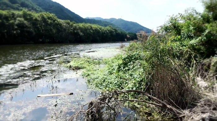 ▲영주댐 하류 내성천의 악화된 수질 (영주댐 하류 500m 지점)